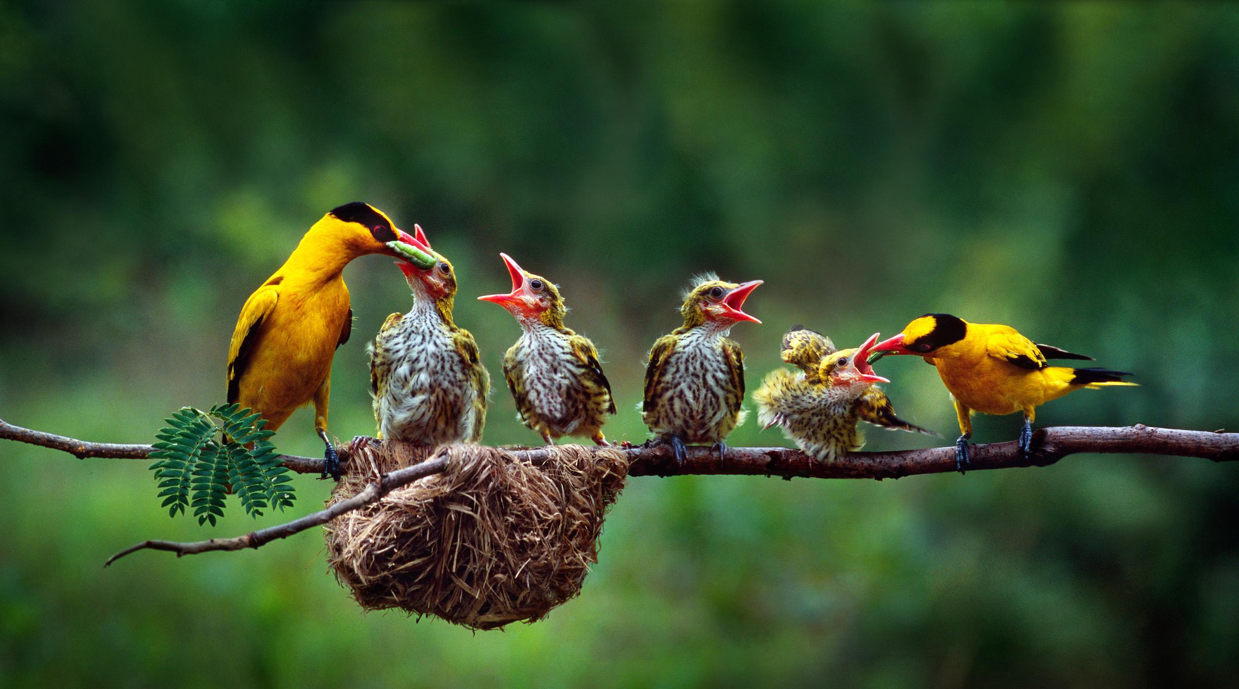 Пение птицы смешное