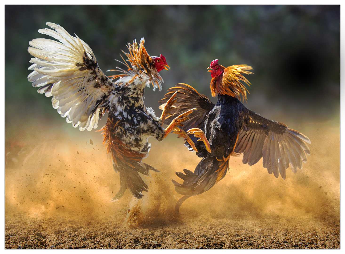 Help For Aggressive Roosters